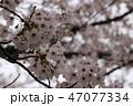 開花 花 咲くの写真 47077334