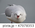 カモメ 野鳥 鳥の写真 47078353