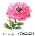 ラナンキュラス19114pix7 47082824