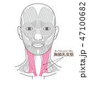 胸鎖乳突筋(きょうさにゅうとつきん) 47100682