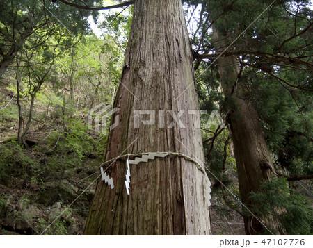 神奈川県 大山の御神木 47102726