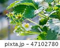 苺 果物 フルーツの写真 47102780