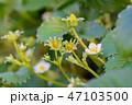 苺 果物 フルーツの写真 47103500