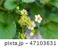いちご イチゴ 苺の写真 47103631