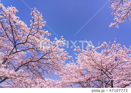 満開の桜 お花見 47107773