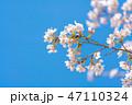 桜の花 47110324