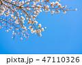 桜の花 47110326