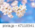 桜の花 47110341