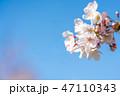 桜の花 47110343