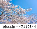 桜の花 47110344