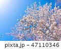 桜の花 47110346