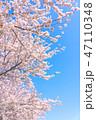 桜の花 47110348