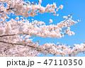 桜の花 47110350