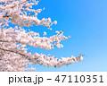 桜の花 47110351