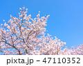 桜の花 47110352
