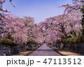 桜 大石寺 春の写真 47113512