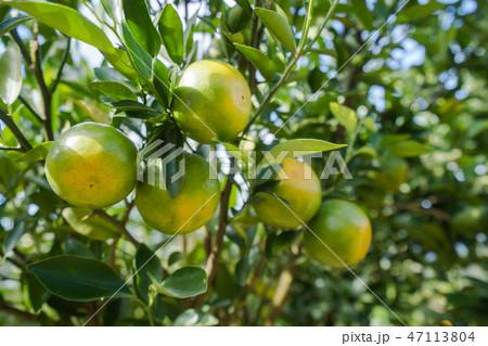 Orange plantation garden 47113804