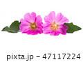 お花 フラワー 咲く花の写真 47117224