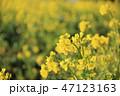菜の花 花 菜の花畑の写真 47123163