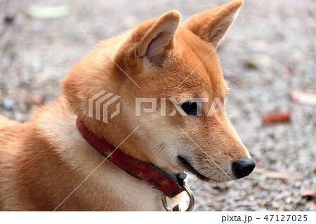 柴犬 47127025