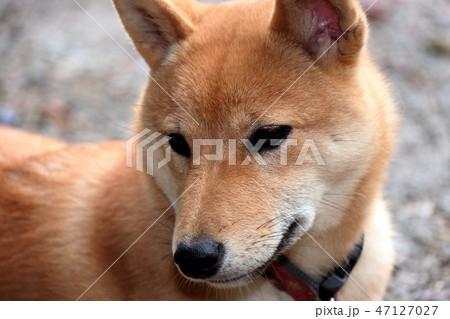 柴犬 47127027
