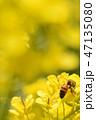 蜂 菜の花 春の写真 47135080
