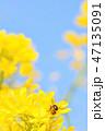 蜂 菜の花 春の写真 47135091