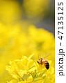 菜の花 蜂 春の写真 47135125