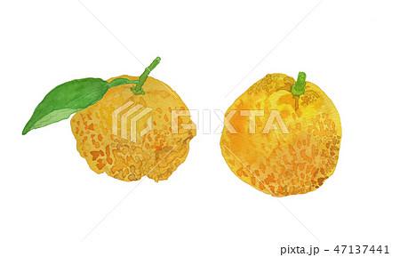 citrus junos ゆず 水彩 47137441