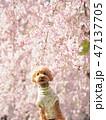 犬 トイプードル 春の写真 47137705