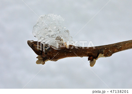 雪氷が付いたオニグルミの冬芽 福島県只見町 47138201
