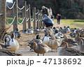 オナガガモ 群れ 水鳥の写真 47138692