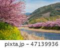 満開の河津桜 47139936