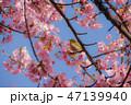 河津桜とメジロ 47139940