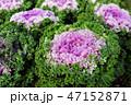 花 キャベツ フラワーの写真 47152871