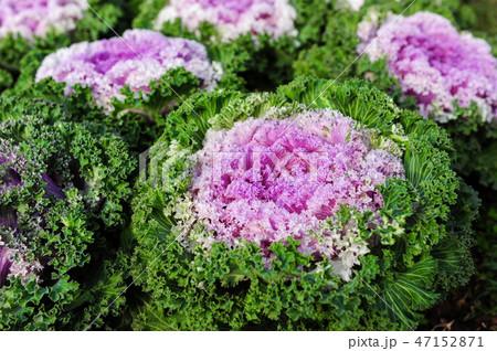 Ornamental brassica cabbage flower plants. 47152871