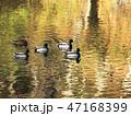 水鳥 池 マガモの写真 47168399