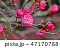 花 梅 紅梅の写真 47170788