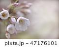 花 サクラ ソメイヨシノの写真 47176101
