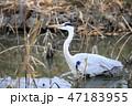 アオサギ 水鳥 池の写真 47183955
