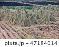 植物 米 農作物の写真 47184014