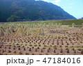 植物 米 農作物の写真 47184016