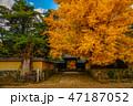 銀杏 秋 紅葉の写真 47187052