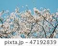 太宰府天満宮のソメイヨシノ桜 47192839