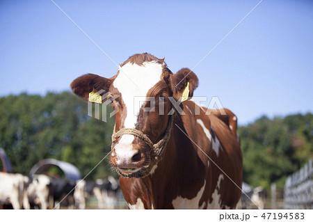 ジャージー牛 47194583