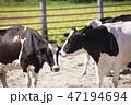 乳牛 牛 牧場の写真 47194694