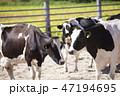 乳牛 牛 牧場の写真 47194695