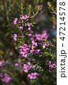 ジャノメエリカ ツツジ科 植物の写真 47214578