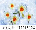 雪中花 47215128