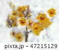 雪と蝋梅 47215129